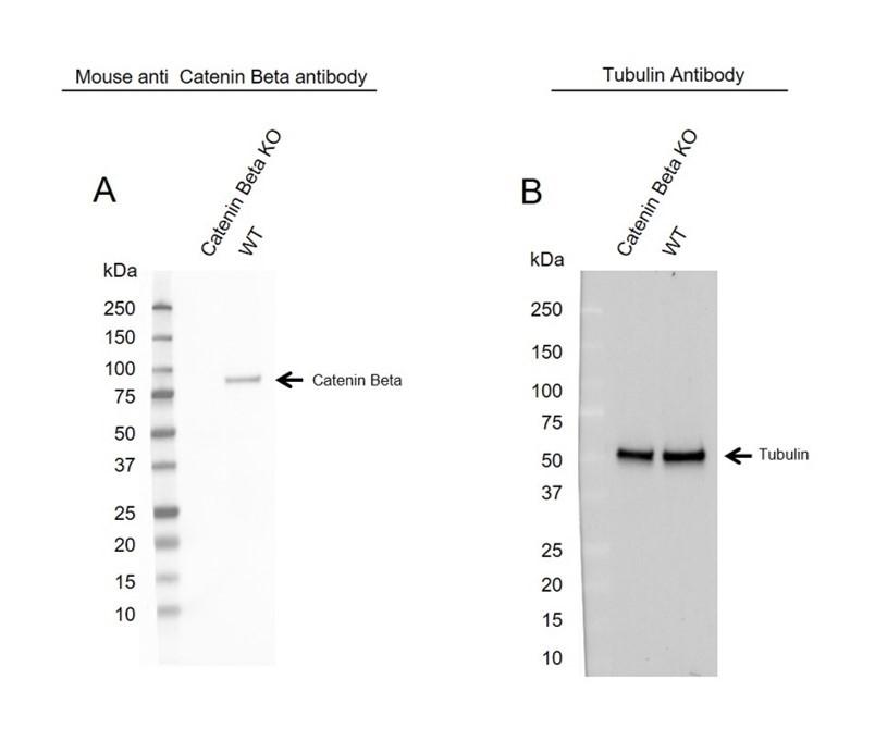 Anti Catenin Beta Antibody, clone AB05/1D4 (PrecisionAb Monoclonal Antibody) thumbnail image 2