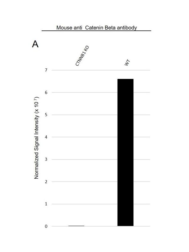 Anti Catenin Beta Antibody, clone AB05/1D4 (PrecisionAb Monoclonal Antibody) thumbnail image 3