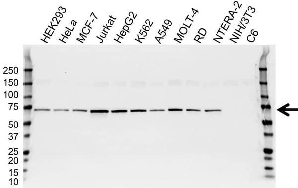 Anti Catenin Beta-Like Protein 1 Antibody (PrecisionAb Monoclonal Antibody) gallery image 1