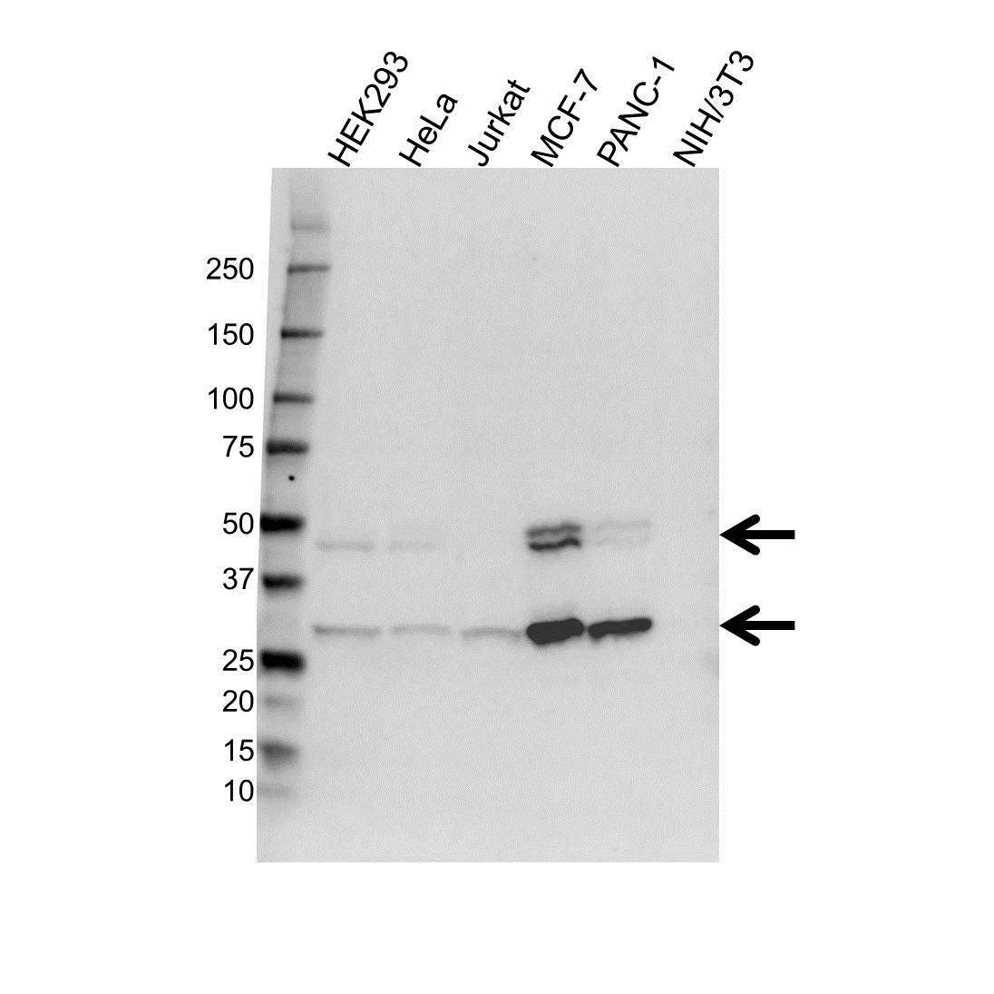 Anti Cathepsin D Antibody (PrecisionAb™ Monoclonal Antibody) gallery image 1
