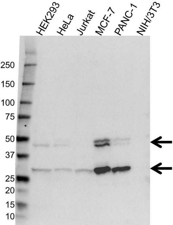 Anti Cathepsin D Antibody (PrecisionAb Monoclonal Antibody) gallery image 1