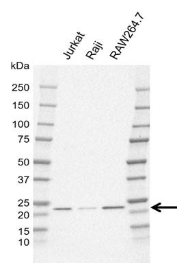 Anti Cbfb Antibody, clone CD06/4G9 (PrecisionAb Monoclonal Antibody) gallery image 1