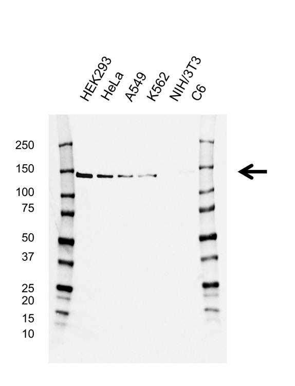 Anti CCAR2 Antibody, clone D02/1C5-4 (PrecisionAb™ Monoclonal Antibody) gallery image 1