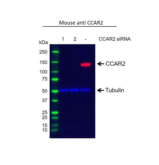 Anti CCAR2 Antibody, clone D02/1C5-4 (PrecisionAb Monoclonal Antibody) thumbnail image 2
