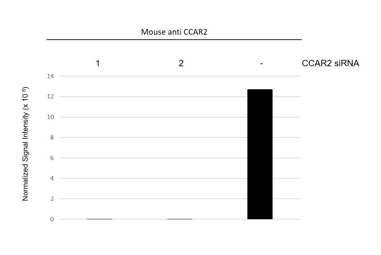 Anti CCAR2 Antibody, clone D02/1C5-4 (PrecisionAb Monoclonal Antibody) thumbnail image 3