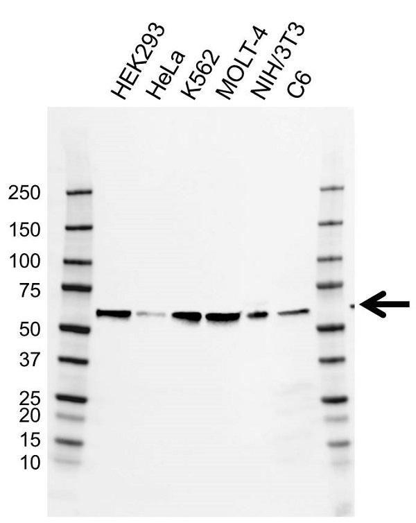 Anti CCT Epsilon Antibody, clone AB03/2D7 (PrecisionAb Monoclonal Antibody) gallery image 1
