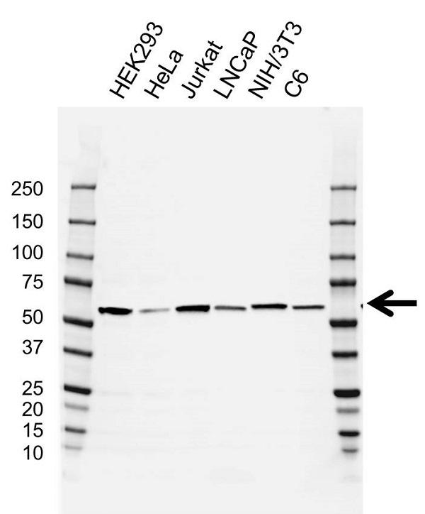Anti CCT8 Antibody, clone AB01/1C4 (PrecisionAb Monoclonal Antibody) gallery image 1