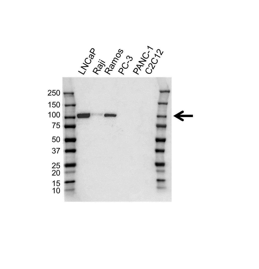 Anti CD10 Antibody, clone OTI2A3 (PrecisionAb Monoclonal Antibody) gallery image 1