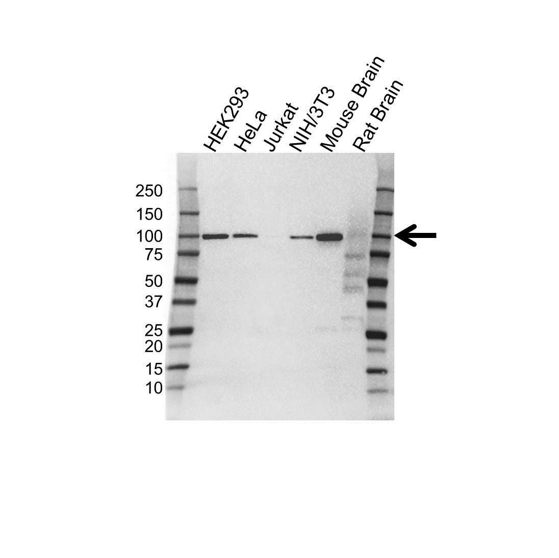Anti CD106 Antibody, clone 3H10 (PrecisionAb™ Monoclonal Antibody) gallery image 1