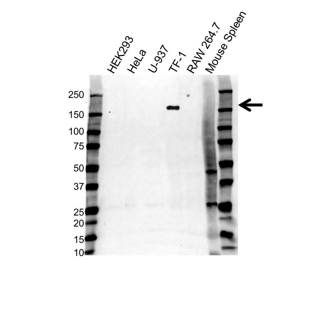 Anti CD11b Antibody, clone 2D11 (PrecisionAb™ Monoclonal Antibody) gallery image 1