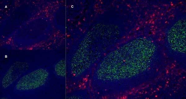 Anti Human CD13 Antibody, clone WM15 thumbnail image 5