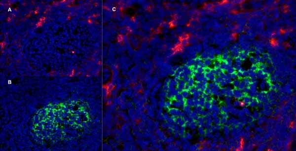 Anti Human CD13 Antibody, clone WM15 thumbnail image 7