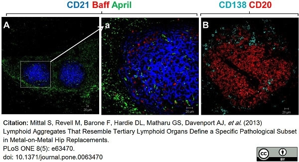 Anti Human CD138 Antibody, clone B-A38 thumbnail image 11