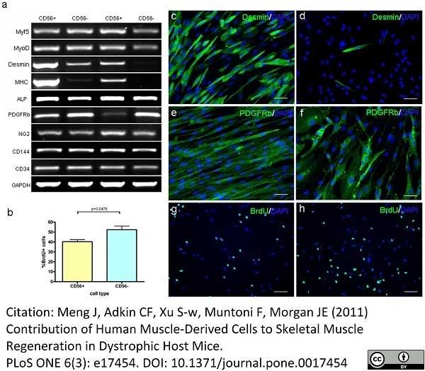 Anti Human CD140b Antibody, clone PR7212 thumbnail image 2