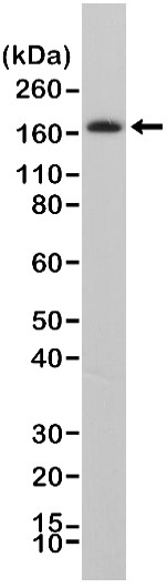 Anti CD140b Antibody, clone RM303 thumbnail image 1