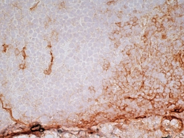 Anti Human CD141 Antibody, clone QBEND/40 thumbnail image 6