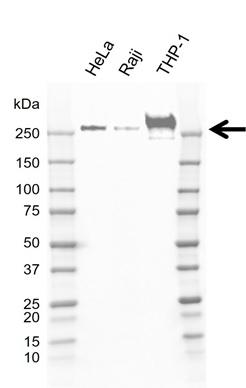 Anti CD148 Antibody, clone D02/2F7 (PrecisionAb Monoclonal Antibody) gallery image 1