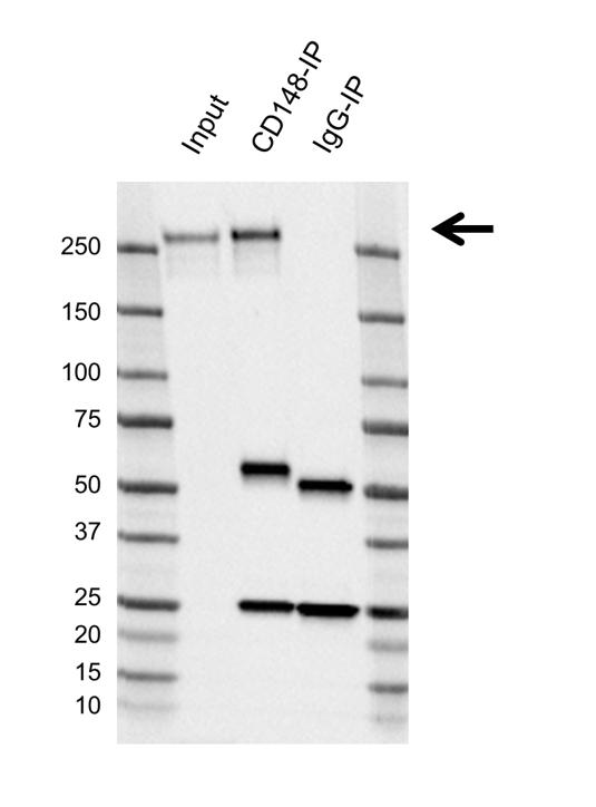 Anti CD148 Antibody, clone D02/2F7 (PrecisionAb Monoclonal Antibody) thumbnail image 2