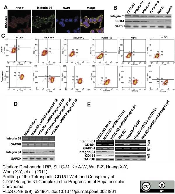 Anti Human CD151 Antibody, clone 11G5a thumbnail image 4