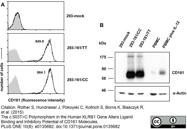 Anti Human Cd161 Antibody  Clone B199 2
