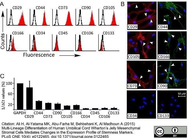 Anti Human CD166 Antibody, clone 3A6 thumbnail image 3