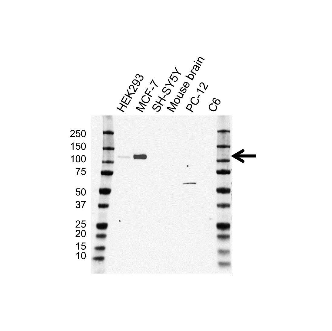 Anti CD167 Antibody (PrecisionAb Monoclonal Antibody) gallery image 1