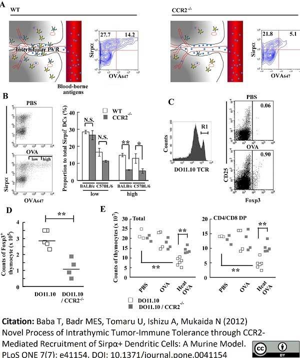 Anti Human CD172a Antibody, clone 15-414 thumbnail image 3