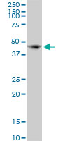 Anti Human CD172a Antibody, clone 4C7 thumbnail image 1
