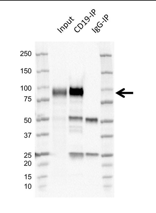 Anti Human CD19 Antibody, clone LE-CD19 thumbnail image 8