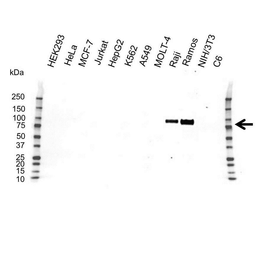Anti CD19 Antibody (PrecisionAb Monoclonal Antibody) gallery image 1