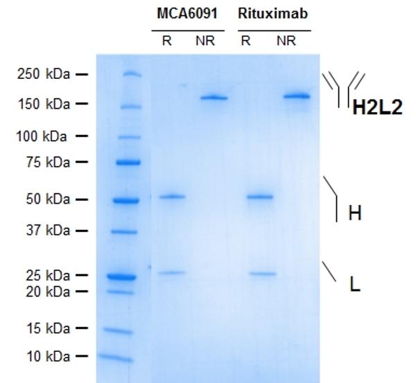 Anti CD20 (Rituximab Biosimilar) Antibody, clone 10F381 thumbnail image 1