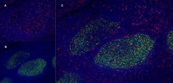 Anti Human CD205 Antibody, clone MG38 thumbnail image 7
