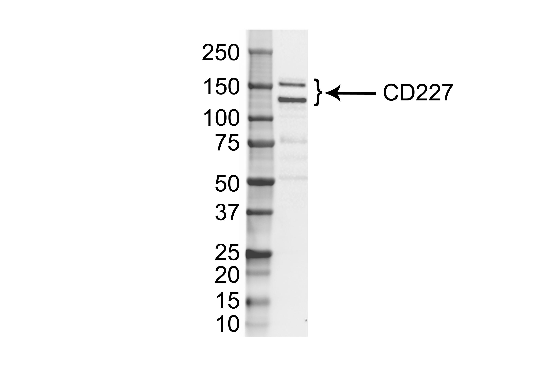 Anti Human CD227 Antibody, clone VU-3C6 thumbnail image 1
