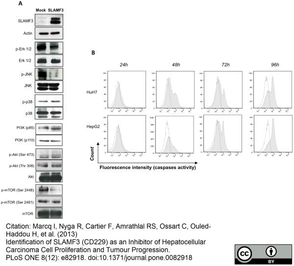 Anti Human CD229 Antibody, clone HLy9.1.25 thumbnail image 3