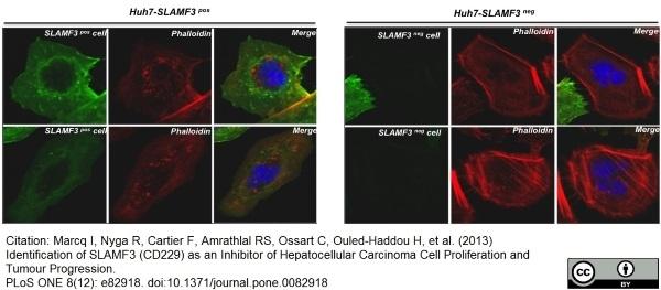 Anti Human CD229 Antibody, clone HLy9.1.25 thumbnail image 7