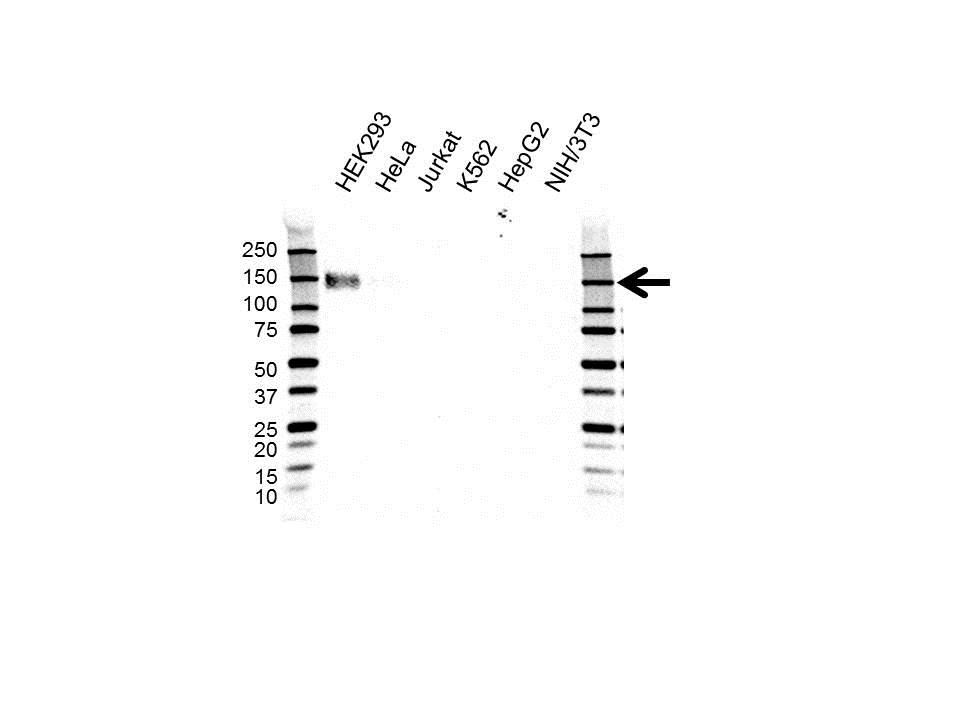 Anti CD243 Antibody, clone OTI2C7 (PrecisionAb Monoclonal Antibody) gallery image 1