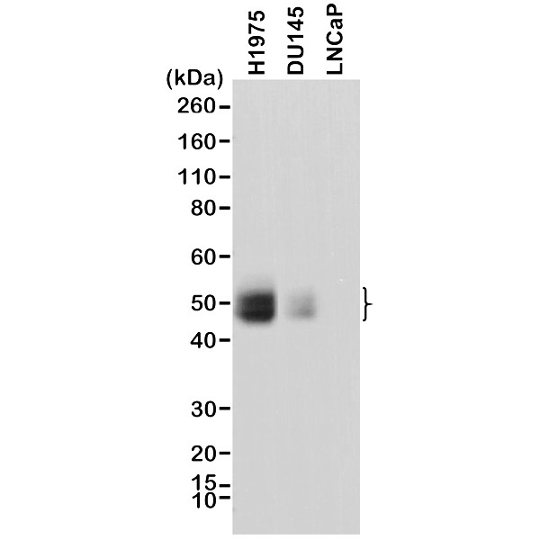 Anti CD274 Antibody, clone RM320 thumbnail image 1