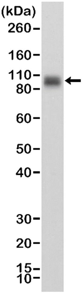 Anti CD276 Antibody, clone RM335 thumbnail image 1