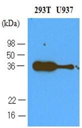 Anti Human CD279 Antibody, clone 4F12 gallery image 1