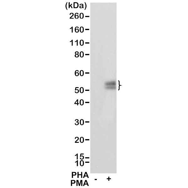 Anti CD279 Antibody, clone RM309 thumbnail image 1