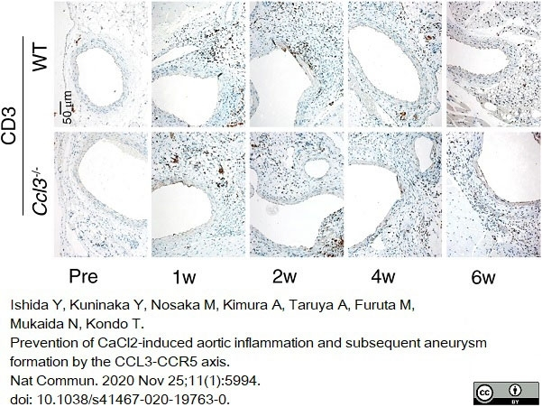 Anti Human CD3 Antibody, clone CD3-12 thumbnail image 18