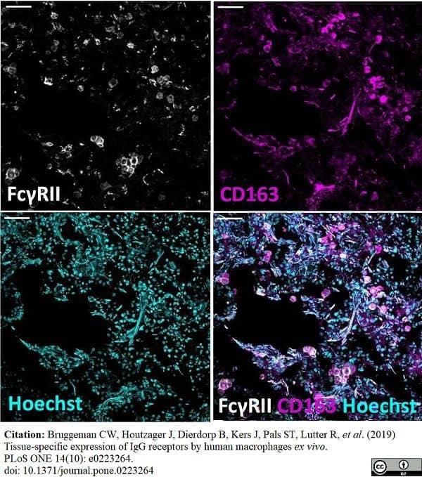 Anti Human CD32 Antibody, clone AT10 thumbnail image 10