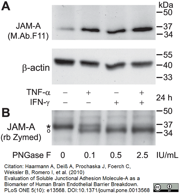 Anti Human CD321 Antibody, clone M.Ab.F11 thumbnail image 3