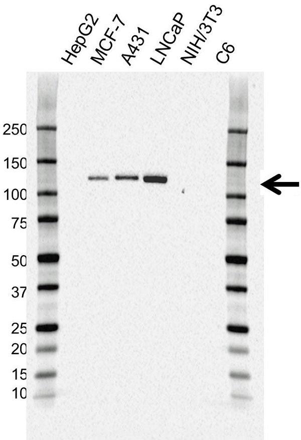 Anti CD324 Antibody, clone AB04/4G6 (PrecisionAb Monoclonal Antibody) thumbnail image 2