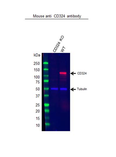 Anti CD324 Antibody, clone AB04/4G6 (PrecisionAb Monoclonal Antibody) thumbnail image 3