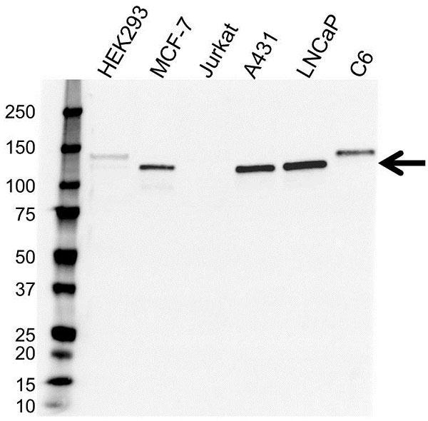 Anti CD324 Antibody (PrecisionAb Monoclonal Antibody) gallery image 1