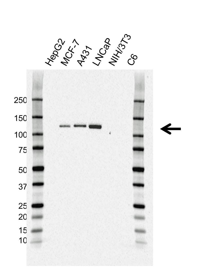 Anti CD324 Antibody (PrecisionAb™ Monoclonal Antibody) gallery image 1