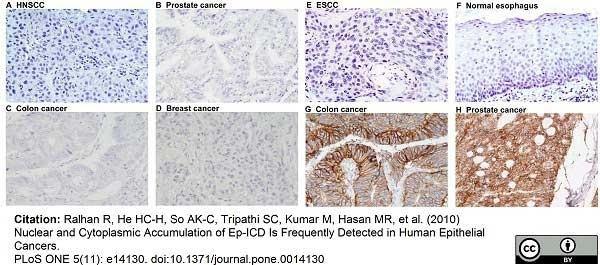 Anti Human CD326 Antibody, clone MOC-31 thumbnail image 5
