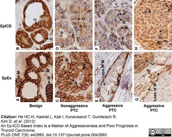 Anti Human CD326 Antibody, clone MOC-31 thumbnail image 7