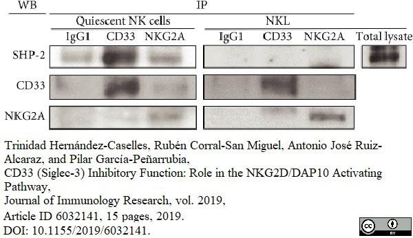 Anti Human CD33 Antibody, clone WM53 thumbnail image 4